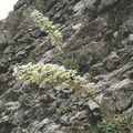 Saxifrage à feuilles en languette