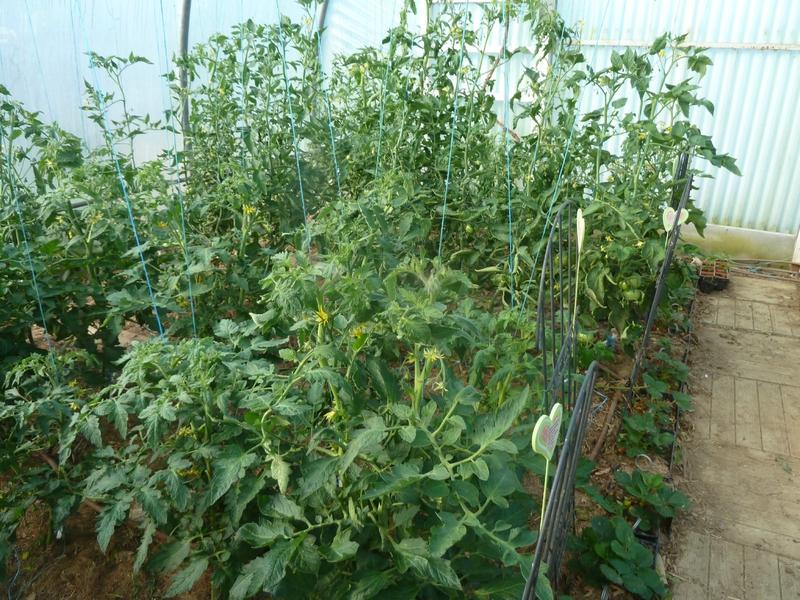 24-tomates (1)
