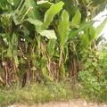 des bananiers geants