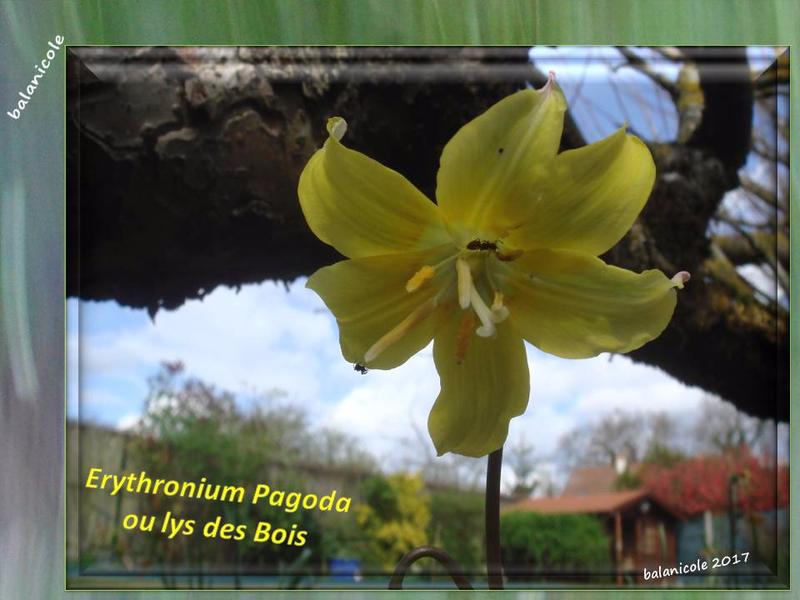 balanicole_2017_06_le printemps des vivaces 02_13_erythronium pagoda2