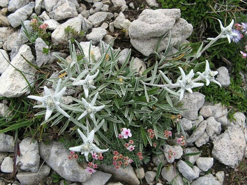 Montagne-Edelweiss-Vercors-Grenoble-France-Europe