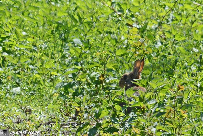 Le lièvre de Pâques