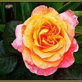 Rose orange 1205153