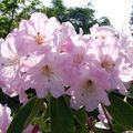 34 - Rhododendron fortunei.
