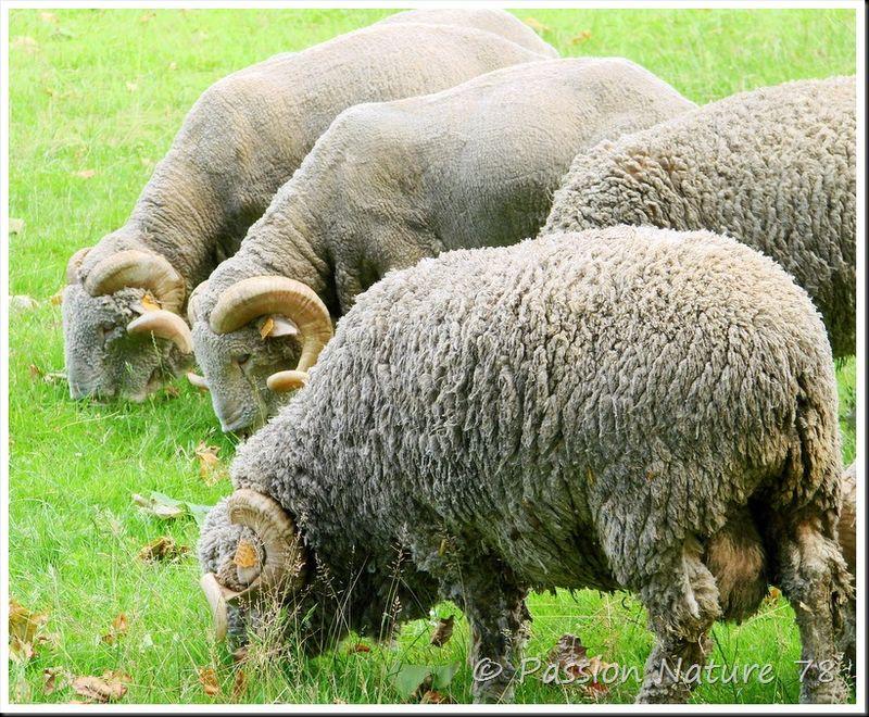 Moutons de Méinos (1)