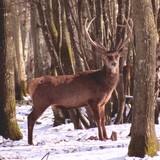 Cerfs et sangliers en hiver=