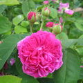 Rose ancienne : 'Mme Isaac Pereire'
