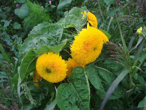 2008 09 16 Tournesol nain sungold