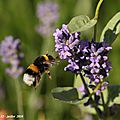 Photos JMP©Koufra 12 - Abeille - 04 juillet 2016 - 00003 - 001b