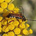 Stenoptère roux • Stenopterus rufus • famille des Cerambycidae