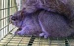 écureuil violet