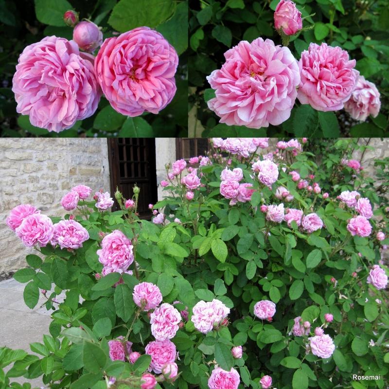 Rose ancienne : 'Salet'
