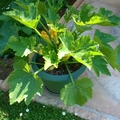 COURGETTES 13