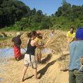 Récolte du riz à Paï (nord thaïlande)