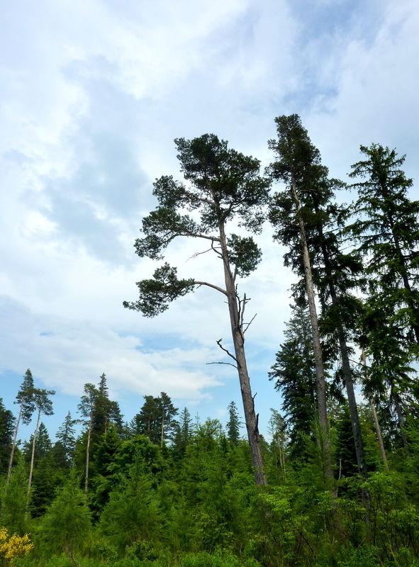impression forêt landaise