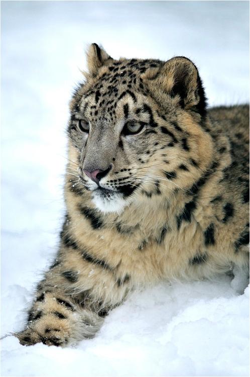 leoparddesneiges145