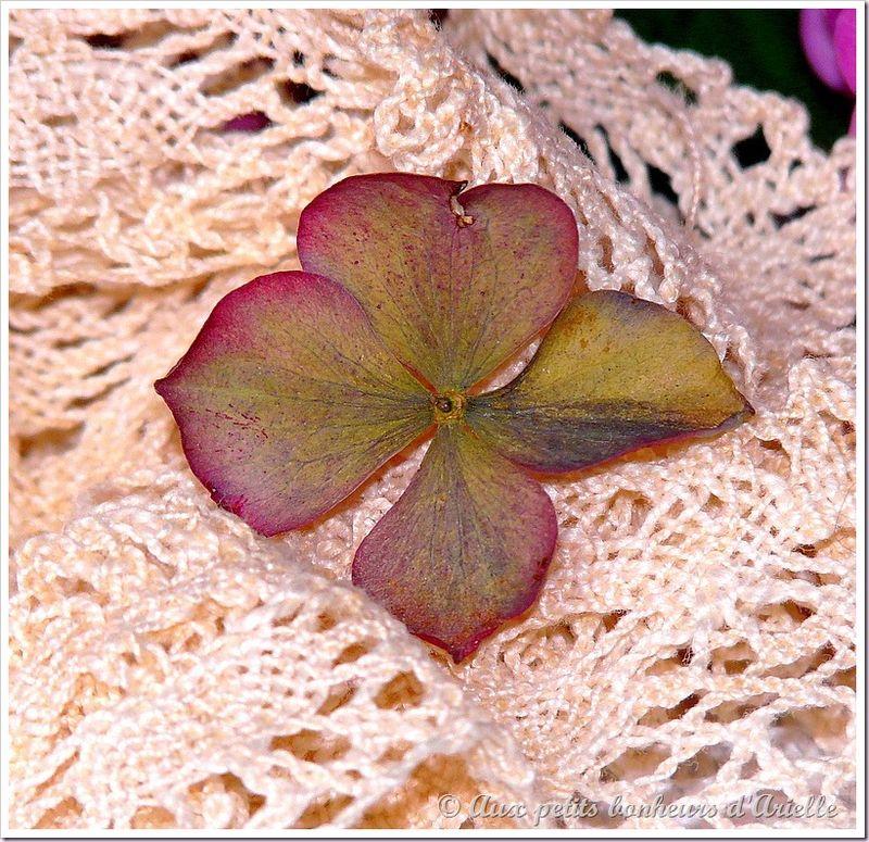 Hortensias aux couleurs de l'automne (6)
