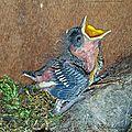 Oisillon de mésange charbonnière au nid