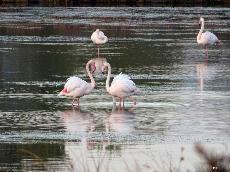 flamants roses conflit