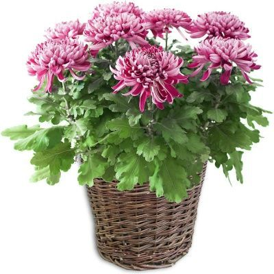 plante-en-pot-chrysantheme-mauve_16478