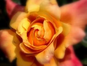 ros_e_sur_rose_halo