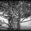 A la rencontre d'un pin