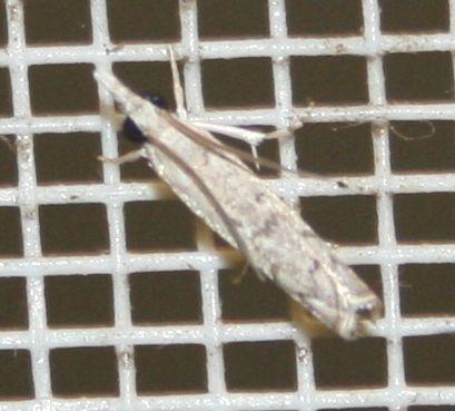 Tinidae sp. 03