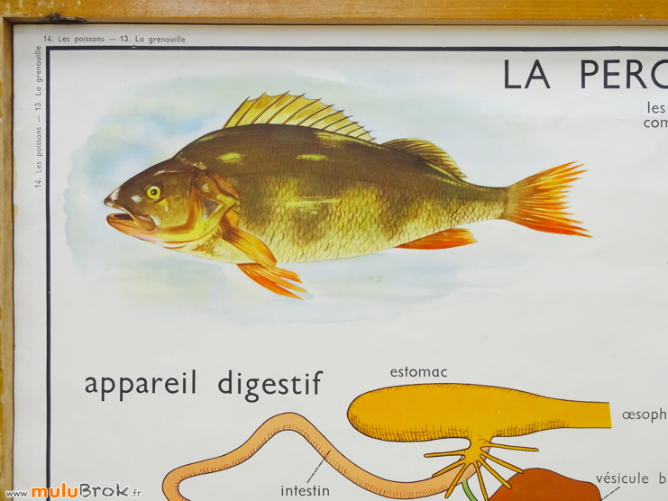 AFFICHE-SCOLAIRE-Grenouille-Poissons-11-muluBrok