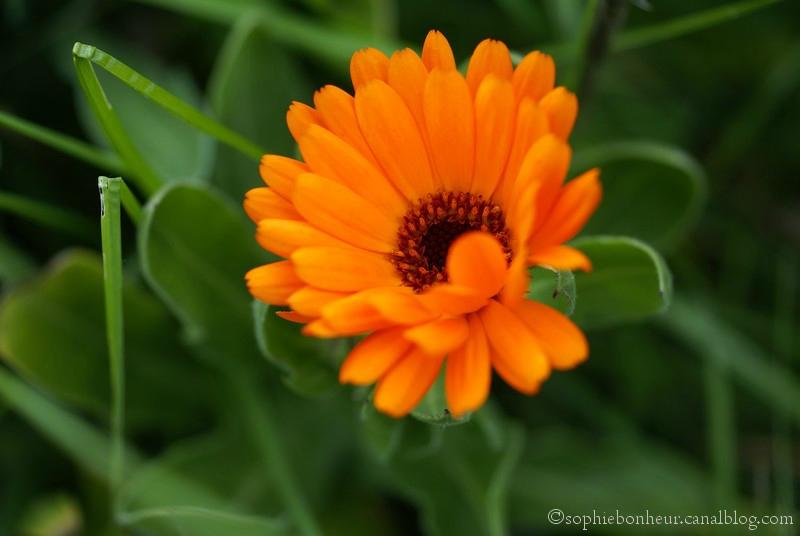 Fleurs oranges jardin for Fleurs de jardin