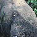 143 - regard d'éléphant,