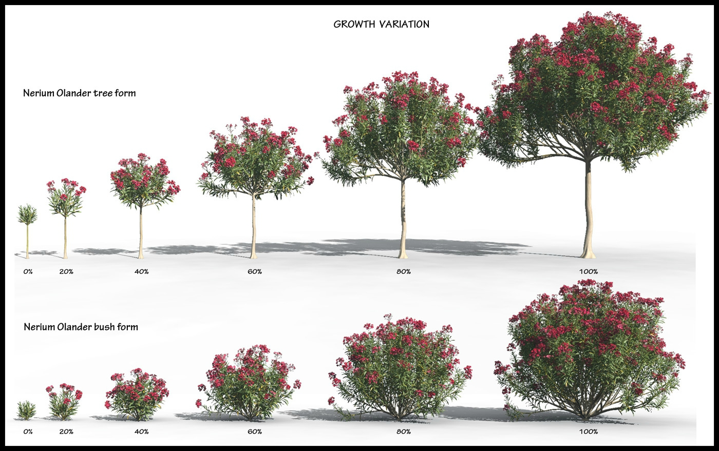 nerium oleander 3d plant model creation. Black Bedroom Furniture Sets. Home Design Ideas