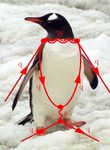 Penguin_diagram