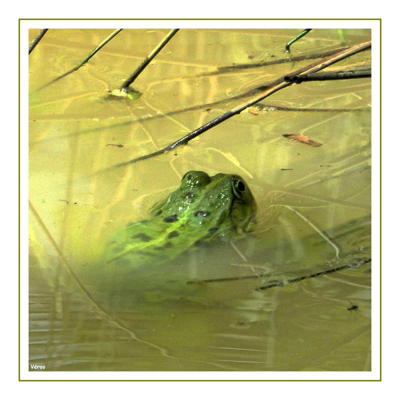 grenouille 2