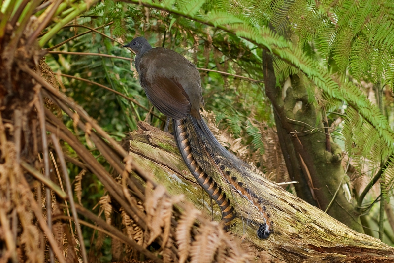 Superb_lyrbird_and_ferntrees