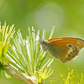 Coenonympha arcania (Le Cphale)