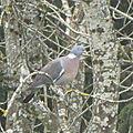 le pigeon ramier