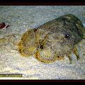 Crustacé , Cigale de mer
