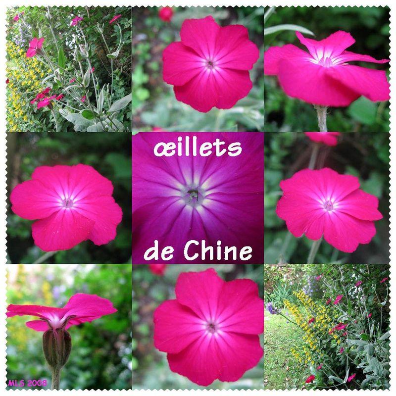 Des illets de chine line in blog - Oeillet de chine ...