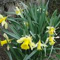 2008 04 24 Les jonquilles en fleurs