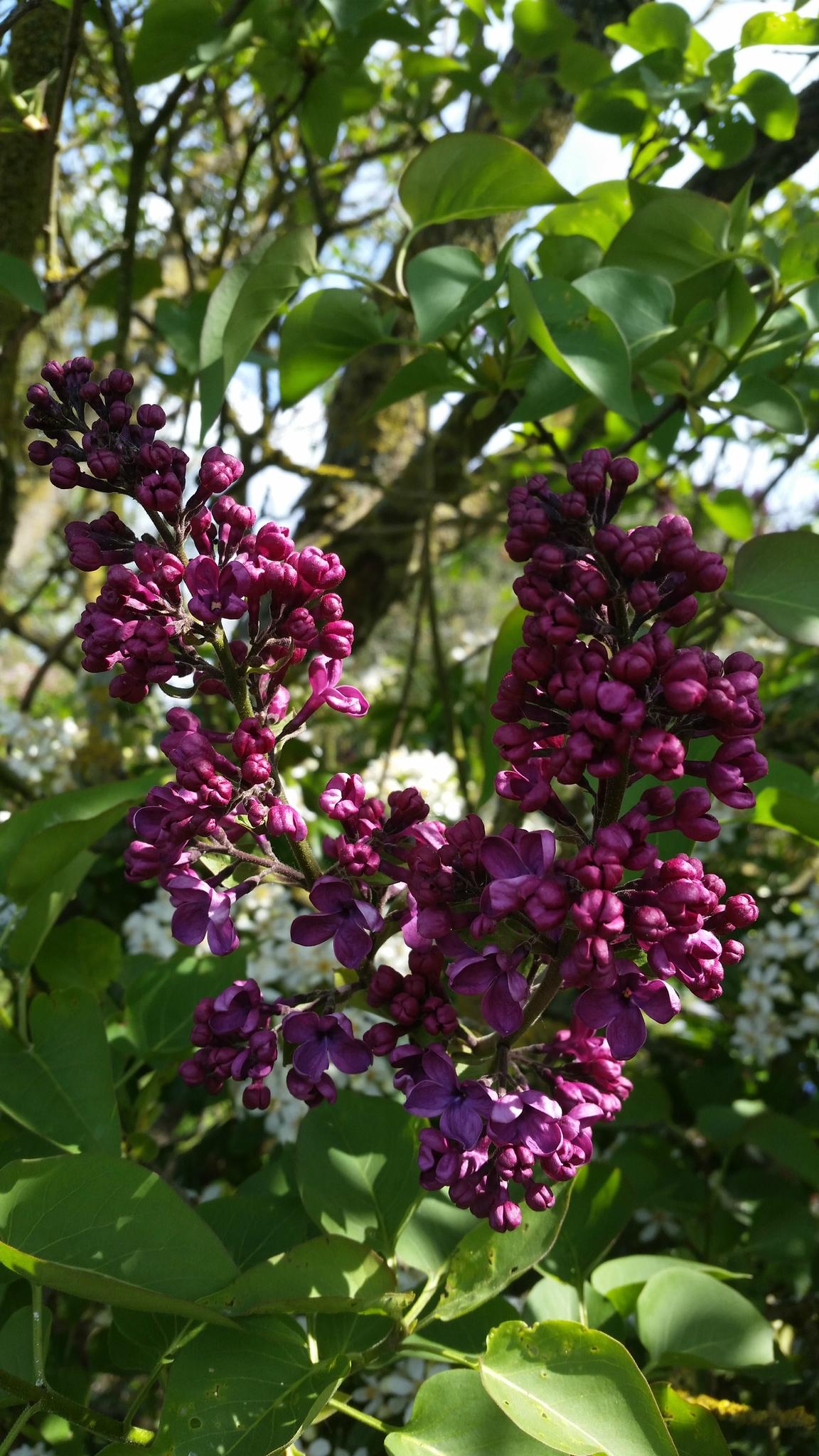 Au jardin de mon p re les lilas sont fleuris par for Au jardin de mon pere camping