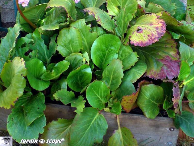 Brunissement du feuillage des thuyas le jardinoscope cot pratique les bons gestes faire au - Maladie des hortensias photos ...