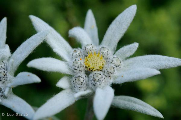 edelweiss 004
