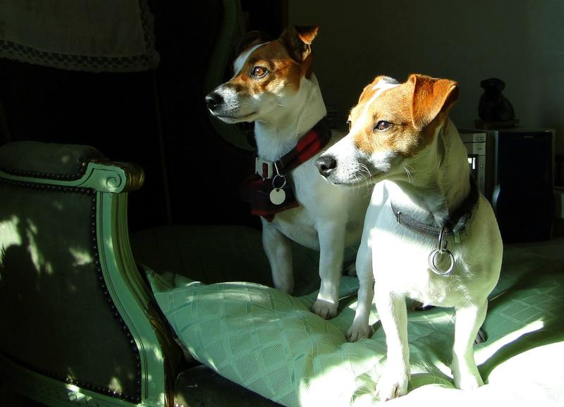 chiens jack russell terrier albertosi