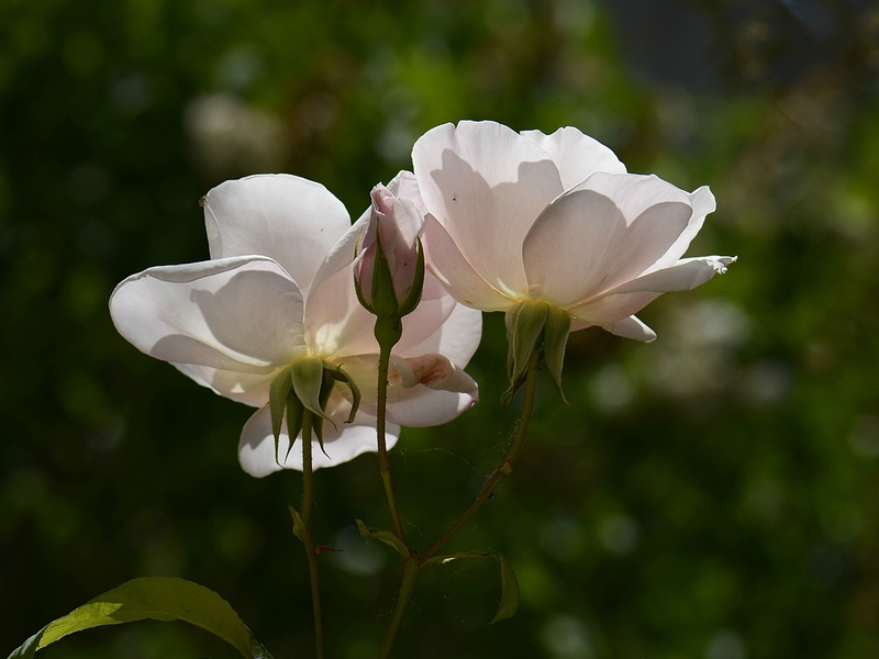 Deux roses blanches 25-09-17