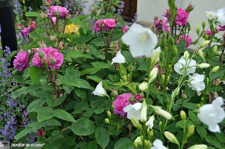Reine-des-Violettes-et-campanules