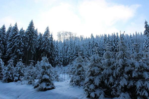 L 39 origine du sapin de no l pourquoi le sapin ne perd il pas ses aiguilles en hiver - Sapin qui perd pas ses aiguilles ...