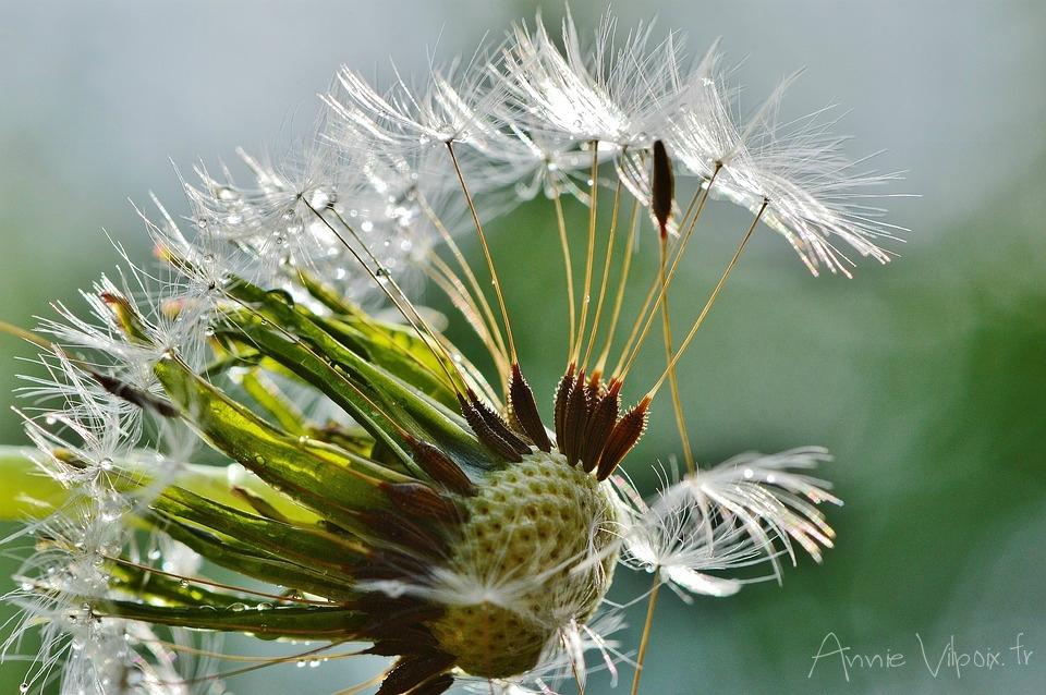 Fleurs de Pissenlit 2