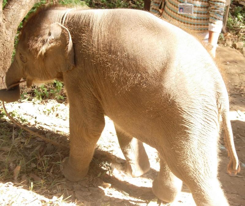 Chiang Mai - Elephant Camp
