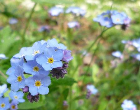 Myosotis_en_fleurs