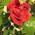 Roses Maison 004